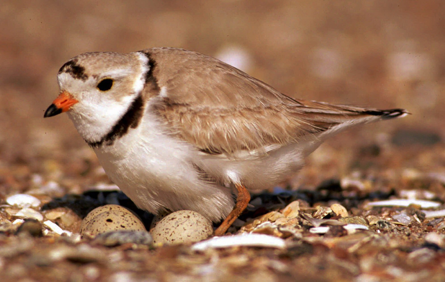 a review of the state of the piping plover in united states Piping plover campground in sea rim, texas  state texas phone number 4099712559 directions  leave a review 750.