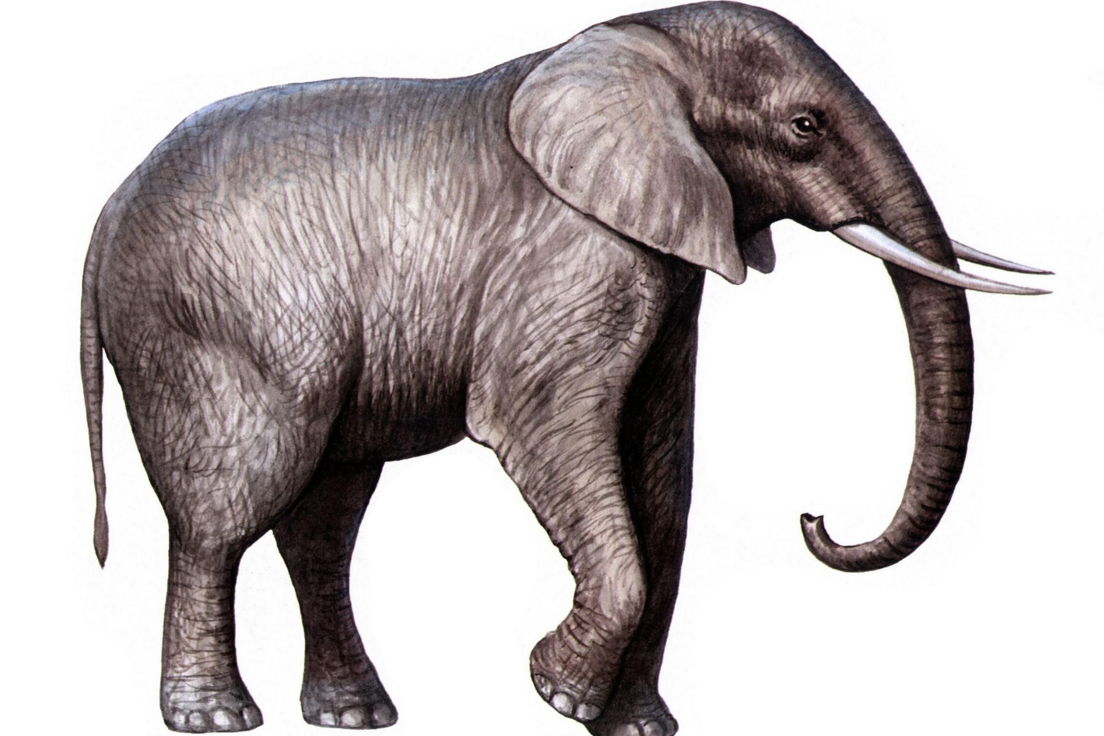 Elefant Tyke