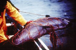 In this undated photo released by Proyecto Vaquita, a porpoise is seen trapped in a fishing net at the Gulf of California.