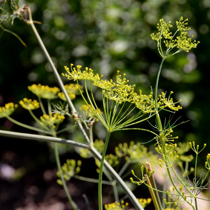 20140918dohomesbraddock6-5 This dill plant is in flower in the school garden at Fairless Elementary in the Woodland Hills School District.