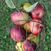 Apples in an old-fashioned picker.
