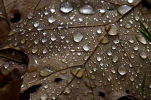 The veins of a leaf are magnified by the drops of morning rain near Anderson Playground in Schenley Park .