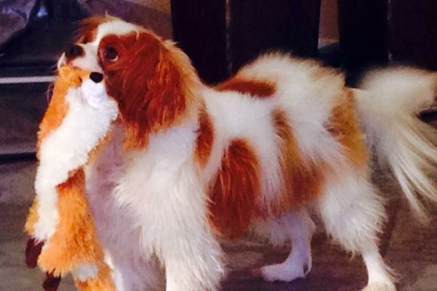 This Oct. 22, 2014, photo via Twitter shows Bentley, the King Charles Spaniel who was quarantined after his owner, Nina Pham, was diagnosed with Ebola, in Dallas.