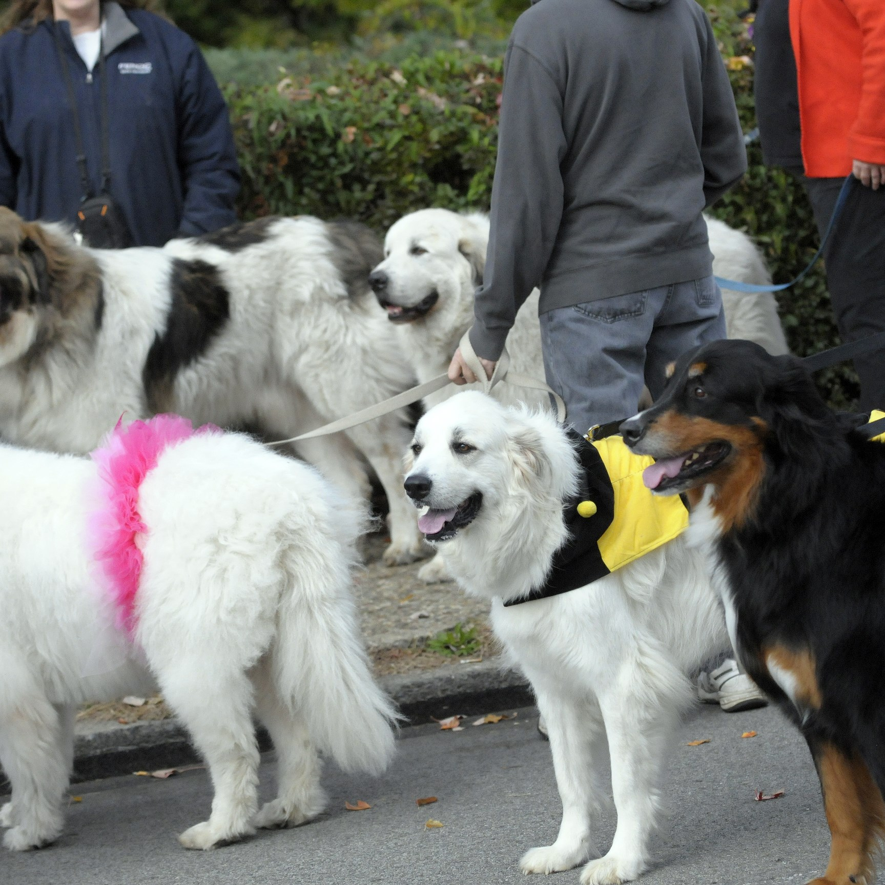 A group of Great Pyrenees dogs from Great Pyrenees Rescue of Western Pennsylvania.
