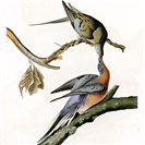 "John James Audubon's 1824 print, ""Passenger Pigeon,"" will be part of the d"