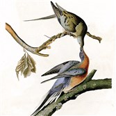 "John James Audubon's 1824 print, ""Passenger Pigeon,"" will be part of the display at the University of Pittsburgh's Hillman Library."