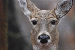 Deer eyes are adapted to see in low light and detect the slightest movement. They recognize colors differently than humans.