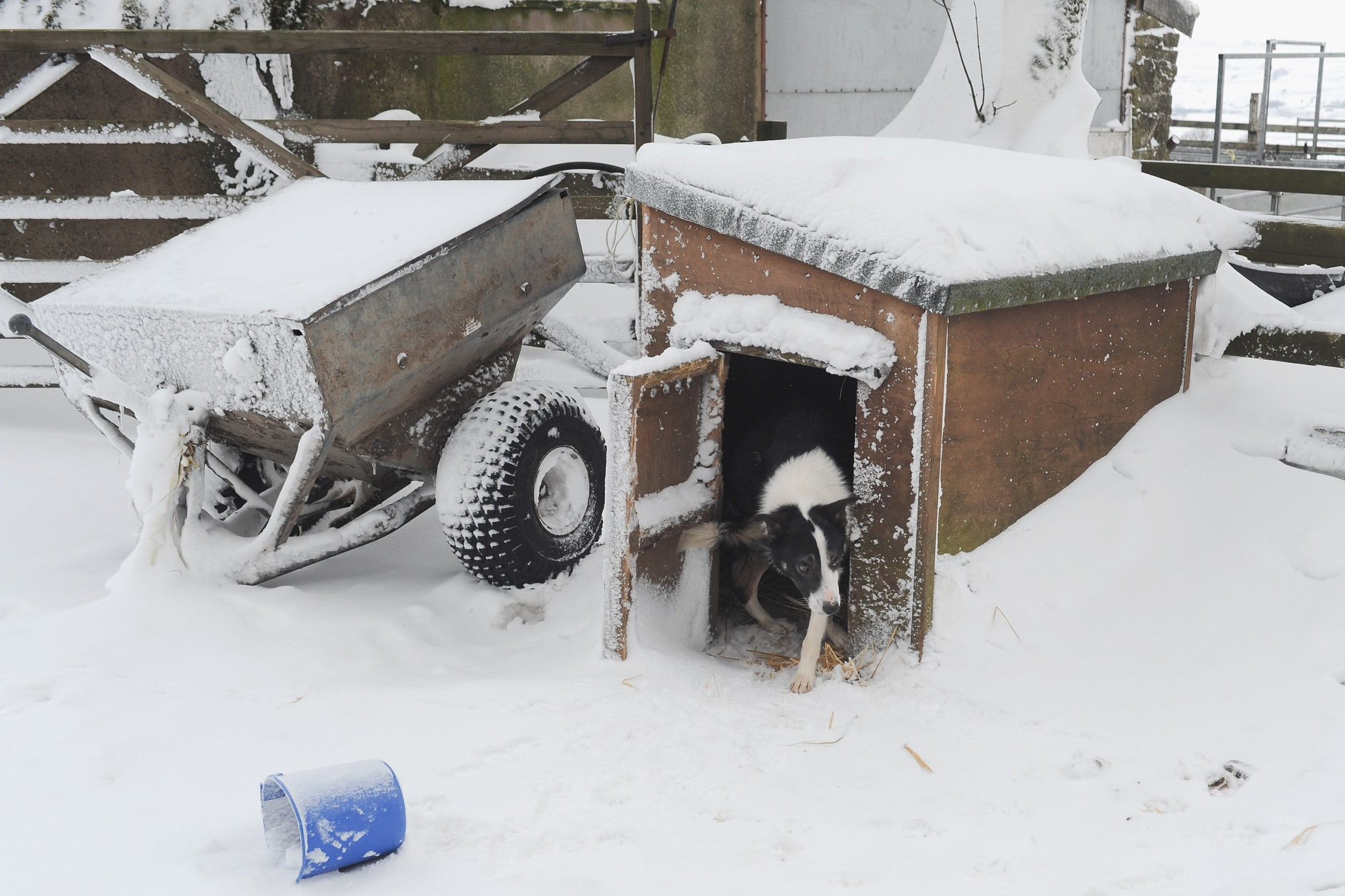 A working dog on a farm in Cumbria, England looks out of its kennel during one of last winter's storms. Outdoor dogs valued by their people have houses or kennels that shield them from rain, wind, cold and extreme summer heat.