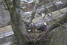 Two bald eagles sit today in a nest in Hays.