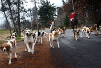 "John Tabachka, 44, huntsman for the Sewickley Hunt Club, leads his hounds to the starting point for a hunt in Sewickley. Mr. Tabachka cares for 50 foxhounds and takes between 20-25 on each hunt. ""I do it for the hounds. I love to watch them and it's addictive, like a needle in the arm, but legal,"" he said."