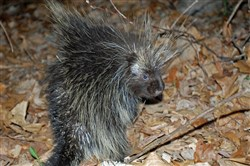 Porcupines are slowly returning to mountainous areas where they once thrived.