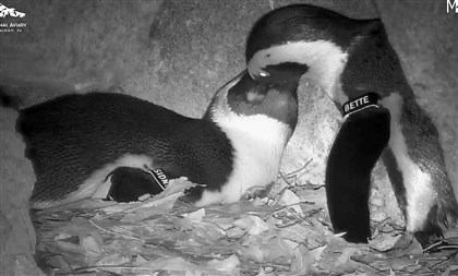 21040224HOpenguins2-1 A nest cam at the National Aviary shows the two penguin parents engaged in allopreening.