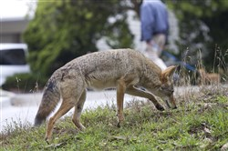 """We're almost maxed out in Pennsylvania as far as coyote density and range. They're everywhere,"" said Tom Hardisky, chief furbearer biologist for the Pennsylvania Game Commission."