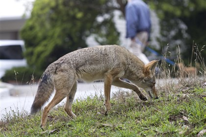 "coyotes4-1 ""We're almost maxed out in Pennsylvania as far as coyote density and range. They're everywhere,"" said Tom Hardisky, chief furbearer biologist for the Pennsylvania Game Commission."
