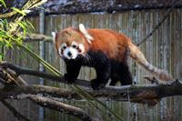 Xia, a 3-year-old red panda, plays in her animal exhibit on a cold January day at the Pittsburgh Zoo & PPG Aquarium.