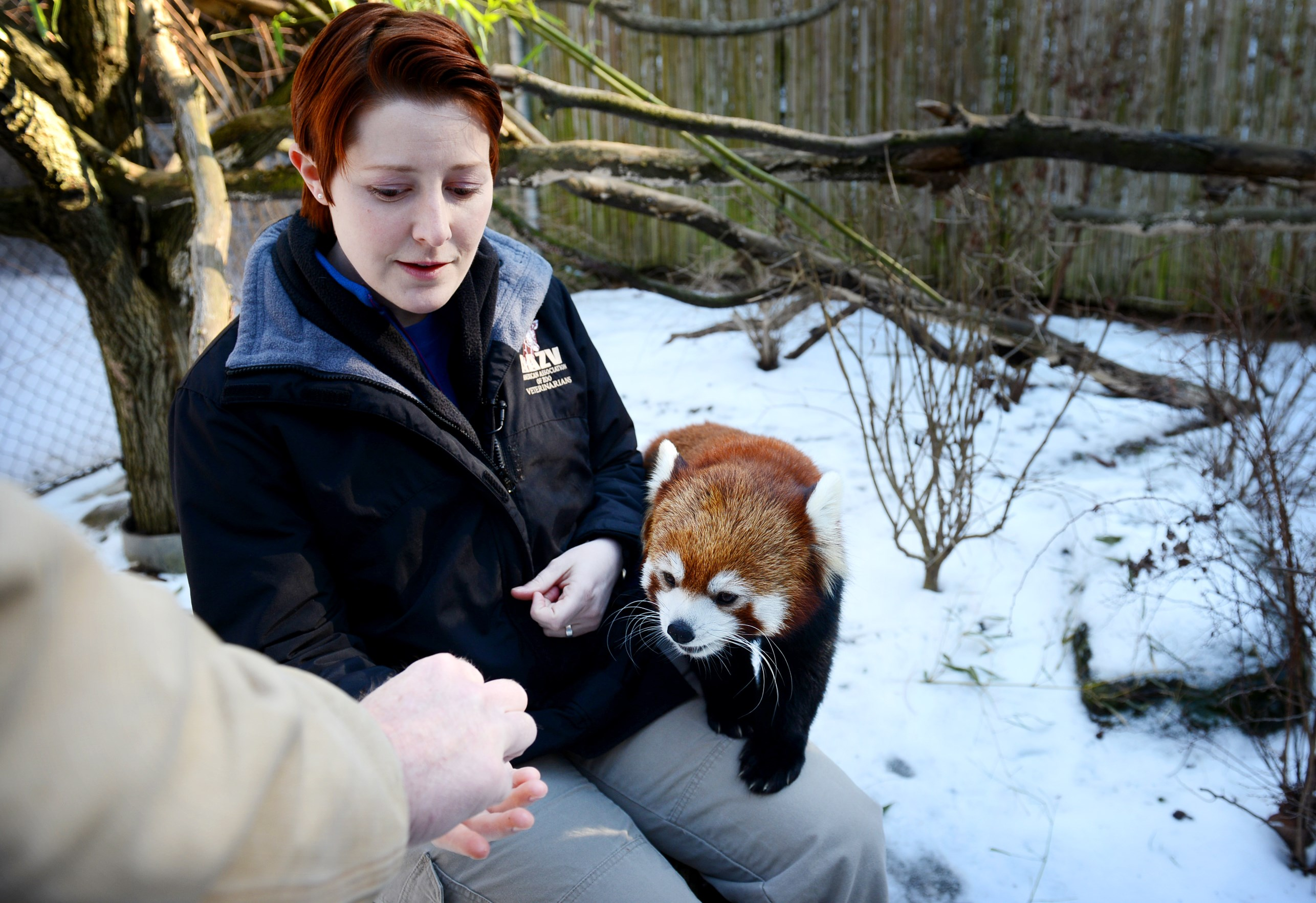 Xia, a three-year-old red panda, takes treats from vet Alicia Hahn while she inspect Xia's hair growth.