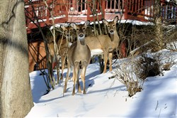 Mt. Lebanon is preparing for a deer cull in six parks to thin out the population.
