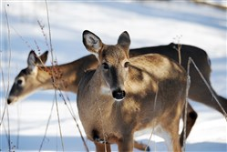 The contractor, Wildlife Specialists, has been hired to kill 150 deer by the end of March.