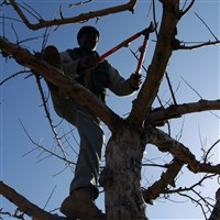 A worker at Goold Orchards prunes apple trees in Schodack, N.Y., on Wednesday, March 14, 2012. (AP Photo/Mike Groll)