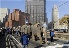 Five adult elephants and one baby from the Ringling Brothers and Barnum & Bailey Circus walk up Sixth Street to the Consol Energy Center in 2011.