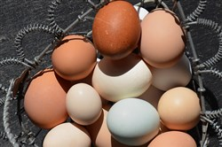 An assortment of local eggs from Lisa Parker of Carmichaels in Greene County, including tiny Serama eggs and a blue egg from an Araucuna hen.