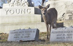 A deer grazes among the headstones at Allegheny Cemetery in Lawrenceville.