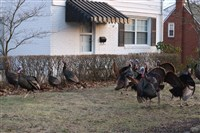A gang of turkeys hanging out in Baldwin Township.