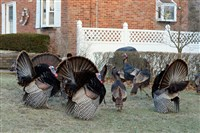 A gang of turkeys hangs out in February 2013 on Highview Road in Baldwin Township.