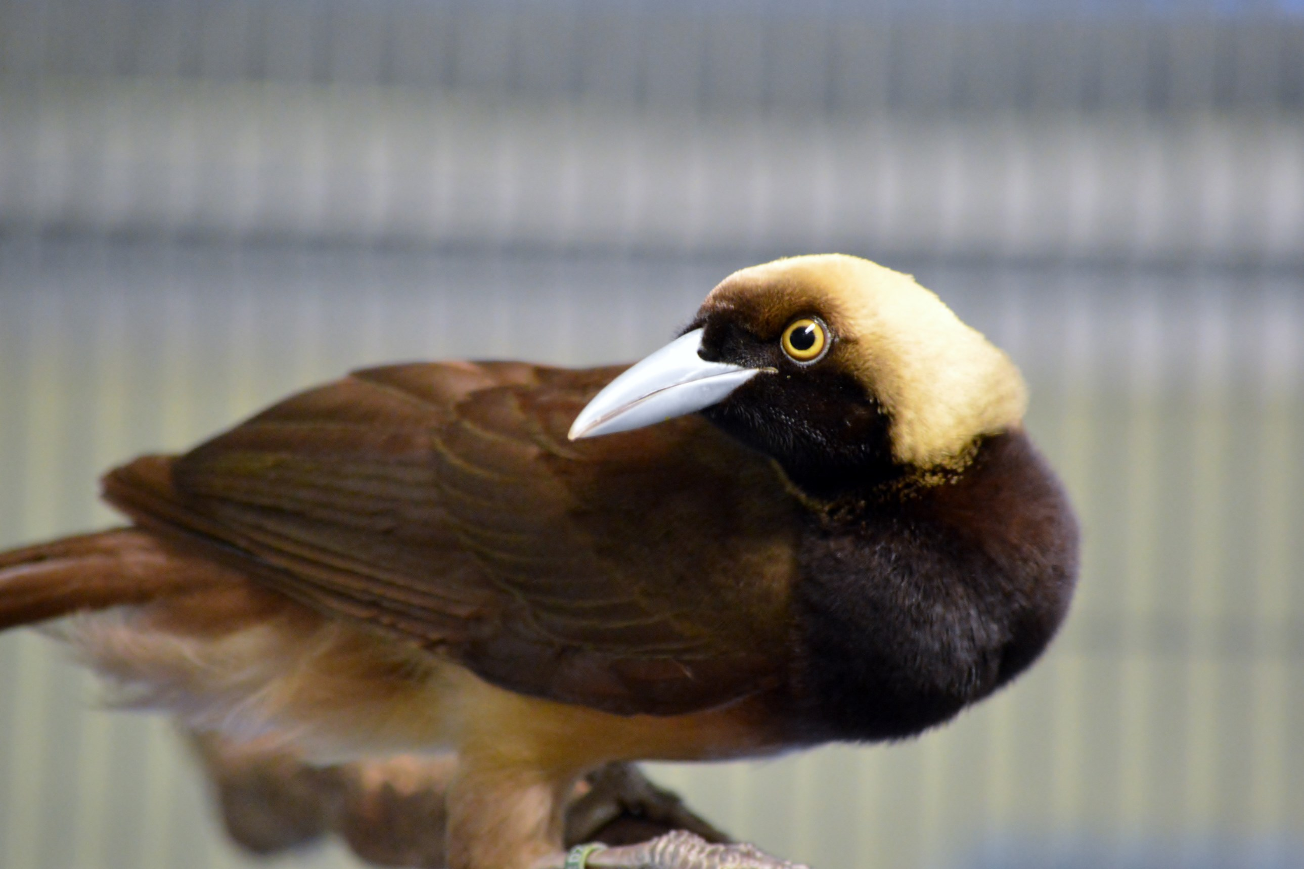 A juvenile  Raggiana bird of paradise at the National Aviary on the North Side.