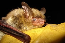Throughout North America, more than 5.7 million bats have died due to white-nose syndrome since 2006.