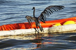 In this photo from 2010, an oil-drenched bird struggles to climb onto a boom out of the waters of Barataria Bay, La., which are filled with oil from the BP Deepwater Horizon oil spill.