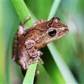 Spring peepers can be found in or around vernal ponds in our city parks.