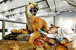 "Maya Evanitsky searches for the best place to remove a skin sample from the ""Original Nittany Lion,"" the 150-year-old specimen that resides at Penn State's All-Sports Museum."