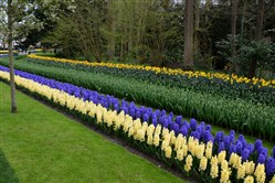 Keukenhof in Holland displays over 7 million bulbs and is only open for eight weeks when the spring flowers are at their peak. Here, two rows of hyacinths and a row of daffodils bloom, while late tulips are next.