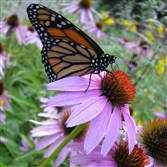 A Monarch butterfly rests on a purple coneflower (Echinacea angustifolia).