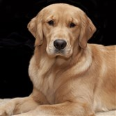 Stoli, who lives in Sewickley with three other golden retrievers and Candace Verduce, is part of the Golden Retriever Lifetime Study.
