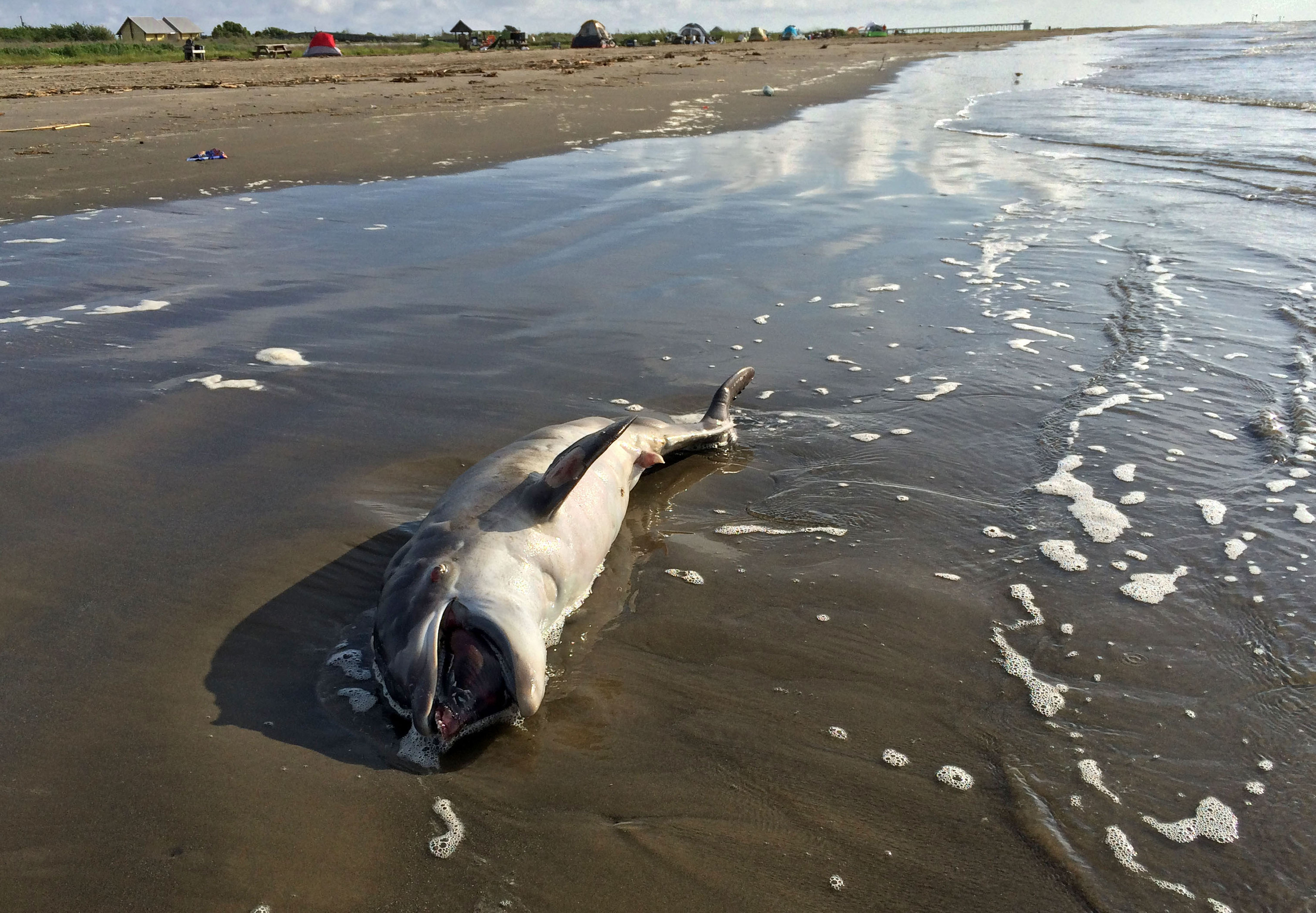Scientists link dolphin deaths in Gulf to 2010 BP spill
