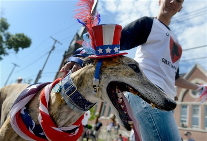 A greyhound sports a patriotic hat during Sewickley's Memorial Day Parade today. Going Home Greyhounds, an organization that finds homes for retired racing greyhounds, marches each year in the parade.