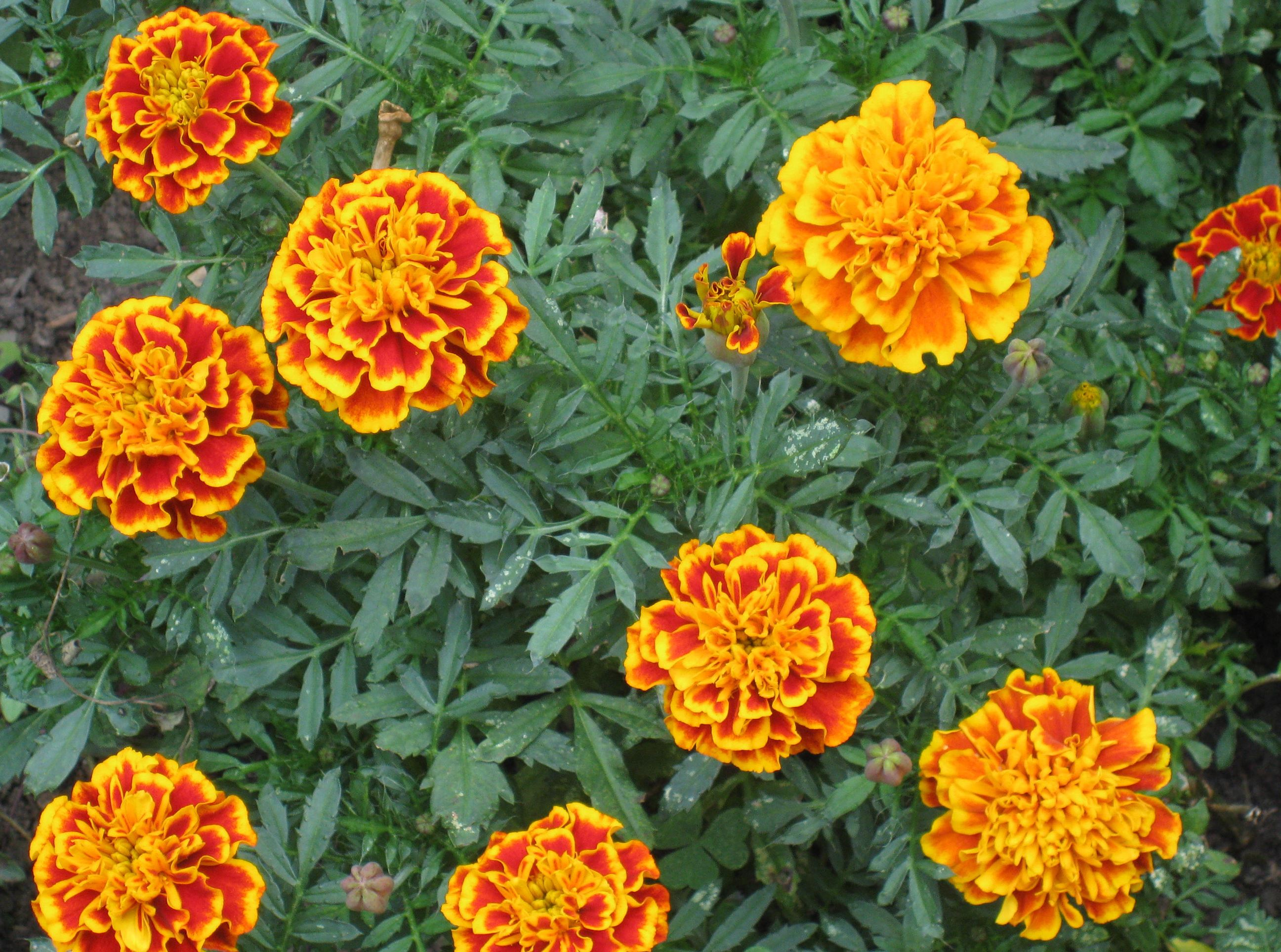 Marigolds Nasturtiums Still Charming Easy To Grow