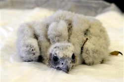 The 19-day-old peregrine falcon chick is observed during  its first exam at the Cathedral Of Learning.