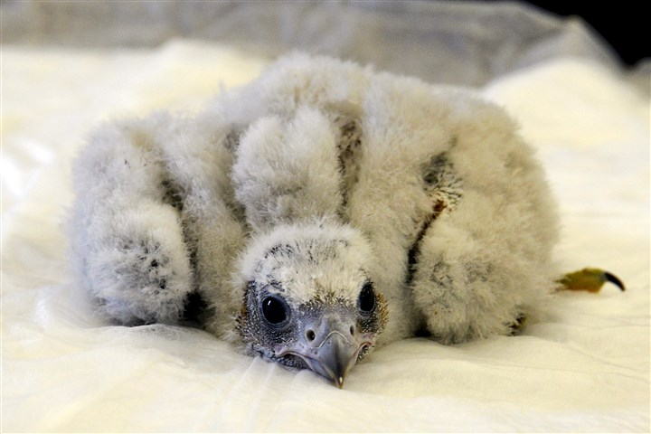 20150529dsPeregrineFalconChickLocal03 The 19-day-old peregrine falcon chick is observed during its first exam at the Cathedral Of Learning.