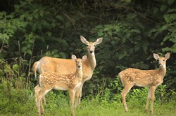 A new study shows that like bucks, whitetail does can travel miles to permanently relocate away from home territories.
