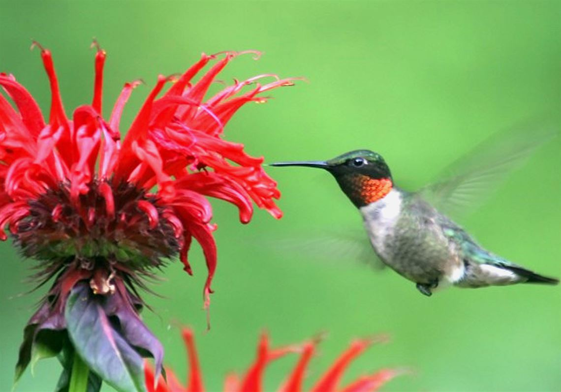 Gardening Qa Flowers To Attract Hummingbirds To Your Garden