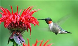 A male ruby-throated hummingbird feeding from Monarda.