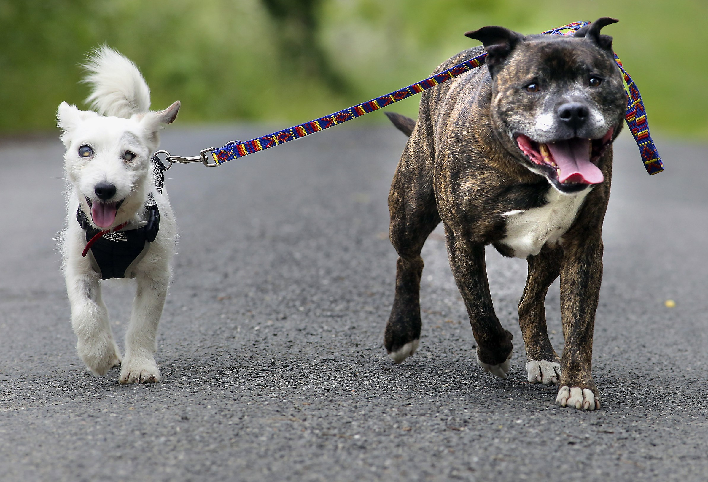 Glenn and Buzz were rescued from a sea tunnel in England. Jack Russell Glenn cannot see and is guided by best friend, Staffordshire Bull Terrier Buzz, who acts as his eyes.