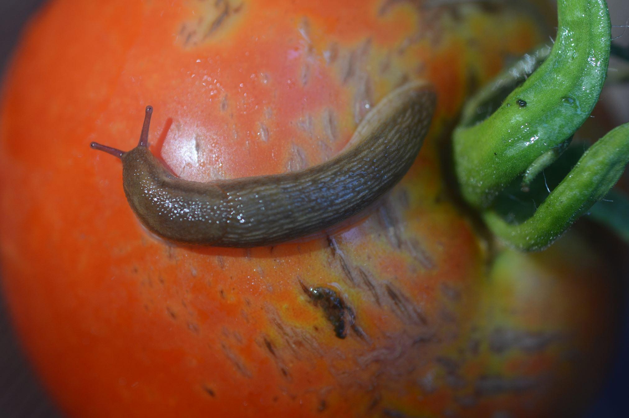 How To Keep Slugs Off Your Plants Pittsburgh Post Gazette