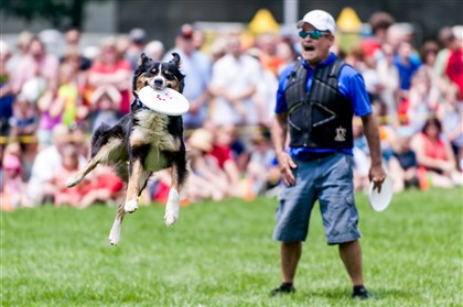 Star and trainer Bill Camp of Cassopolis, Michigan, performs with the Muttley Crew Flying Dogs at the Three Rivers Regatta on Friday.