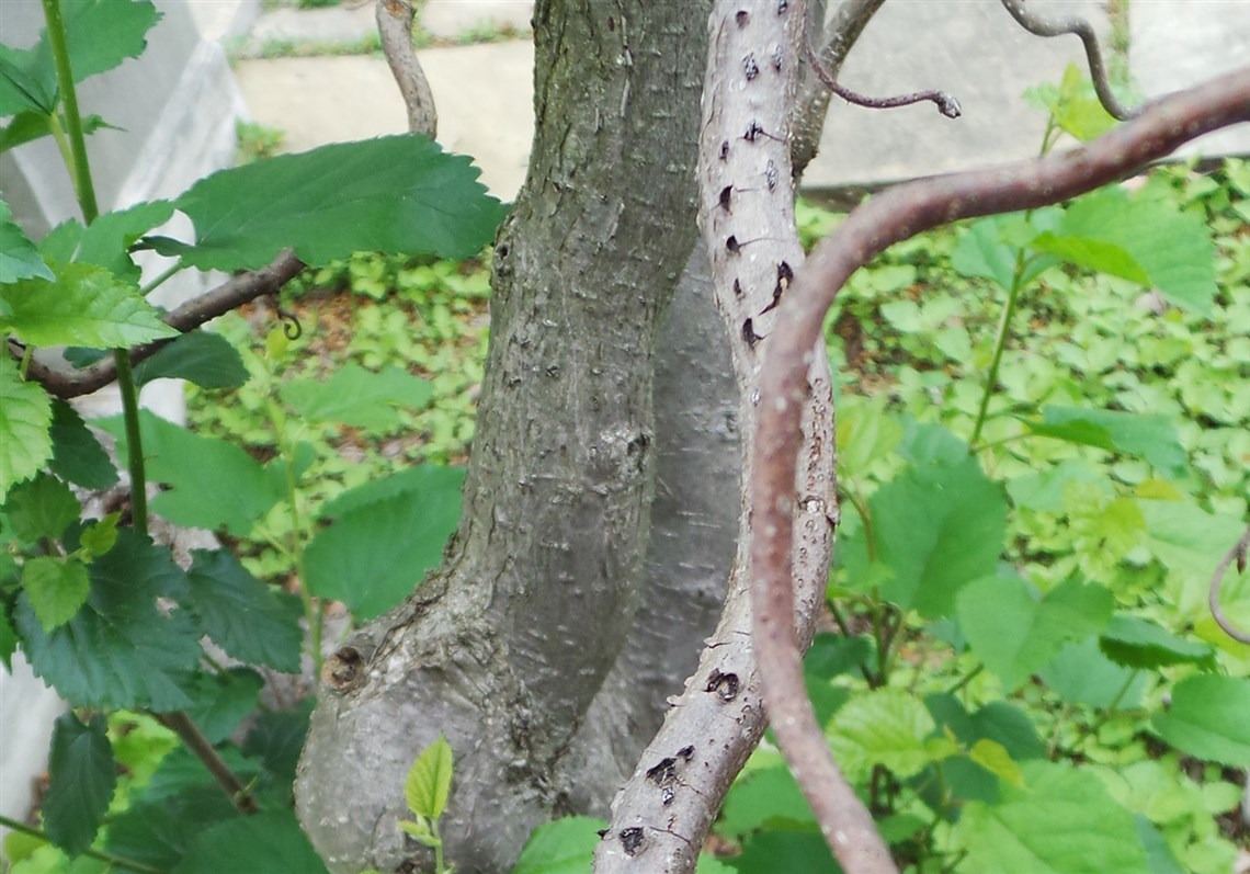 Harry lauder walking stick trees - A Harry Lauder S Walking Stick Corylus Avellana Contorta Infected With Eastern Filbert