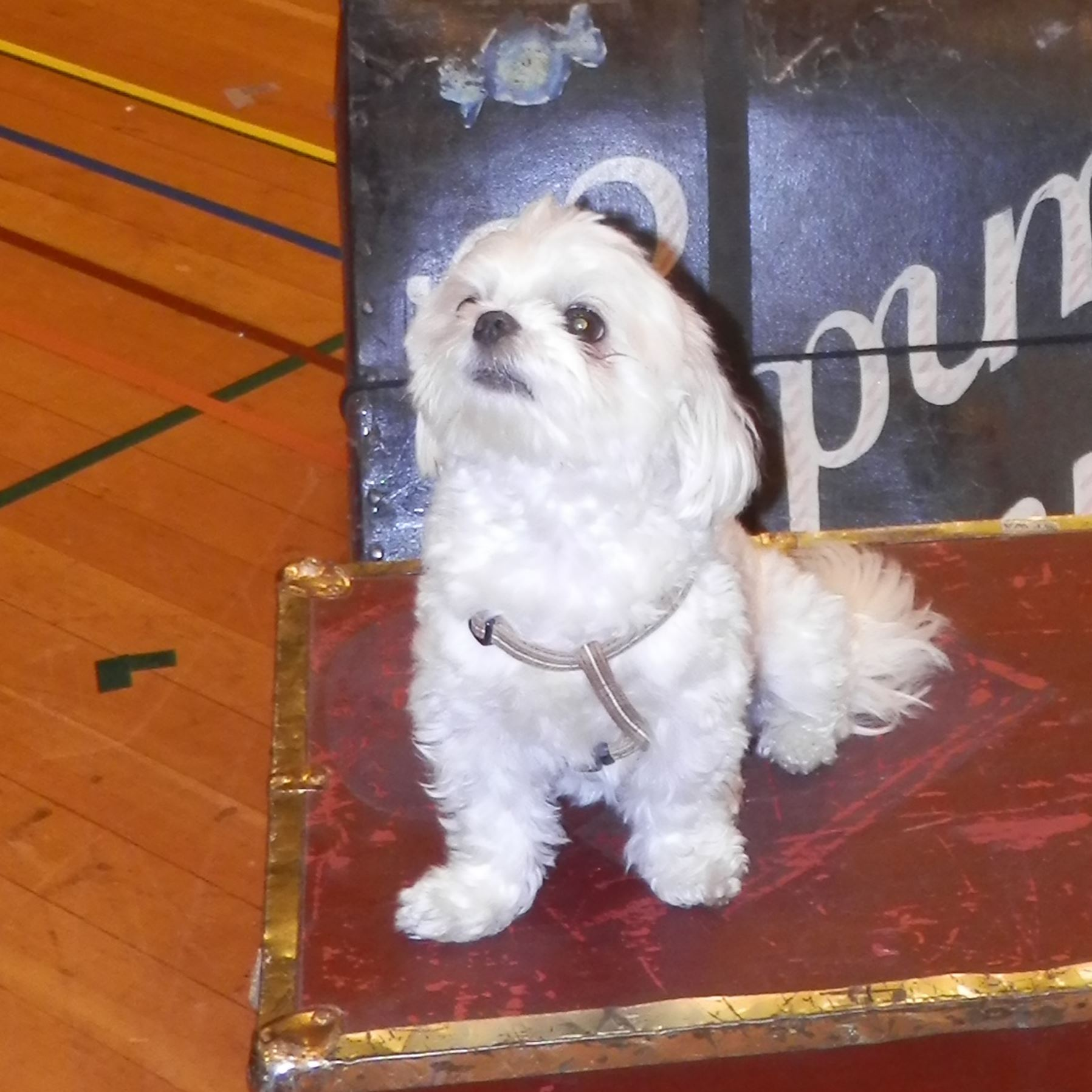 "20150711hoPetTales02-1 Enzo, a -year-old Maltese owned by Elena Nola is ready for his stage debut in the CLO production of ""Gypsy."""