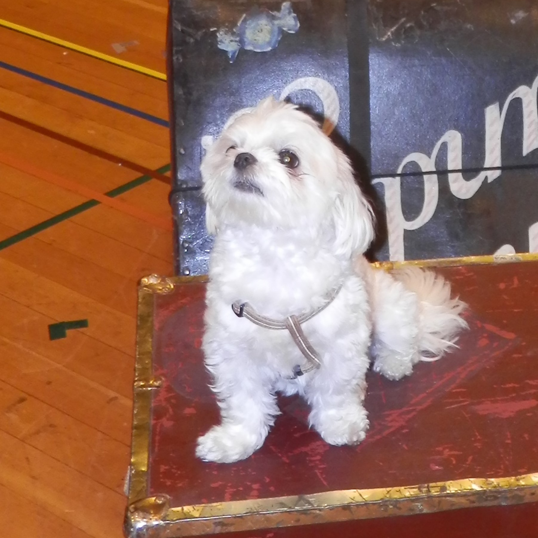"Enzo, a -year-old Maltese owned by Elena Nola is ready for his stage debut in the CLO production of ""Gypsy."""